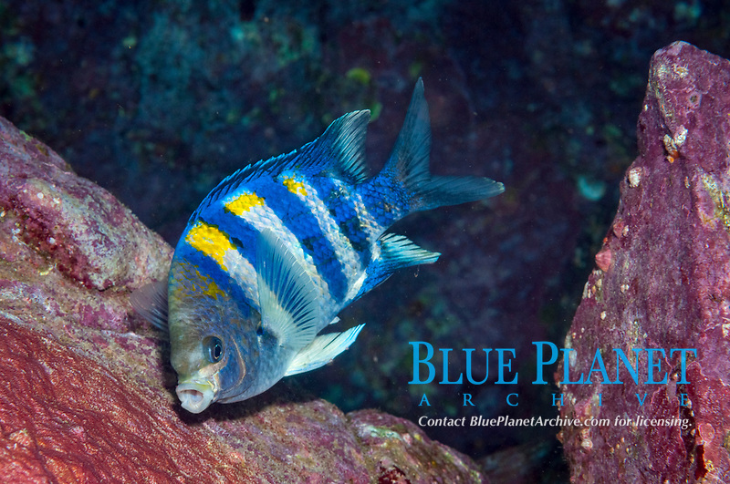 Indo-Pacific sergeant, Abudefduf vaigiensis, guarding eggs, Fish Rock, South West Rocks, New South Wales, Australia, South Pacific Ocean