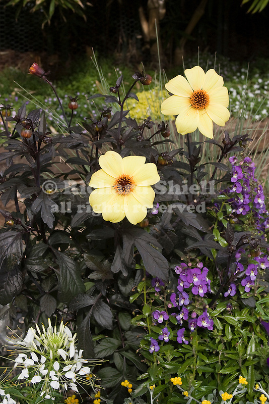 DAHLIA MYSTIC ILLUSION, CLEOME SPIRIT FROST, SPIDER FLOWER, AND ANGELONIA ANGELFACE DRESDEN BLUE