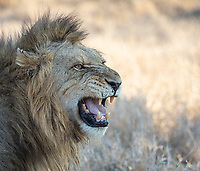 A male lion checks the readiness of his mate by processing scents while exhibiting the Flehmen Response.