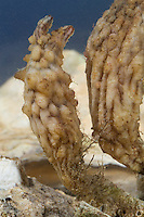 Ostasiatische Seescheide, Falten-Ascidie, Styela clava, Stalked Sea Squirt, Asian sea squirt, rough sea squirt, leathery sea squirt, folded sea squirt, L' Ascidie plissée, Seescheiden, Ascidiae, ascidians, sea squirts