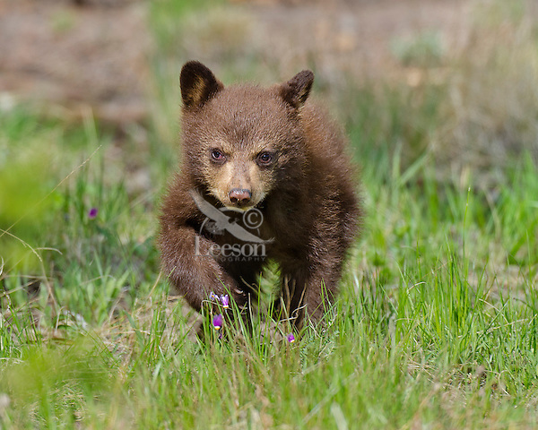 """Wild Black Bear (Ursus americanus) cub (cinnamon color phase) .  Western U.S., spring. (This is what is known as """"coys""""--cubs of the year.)"""