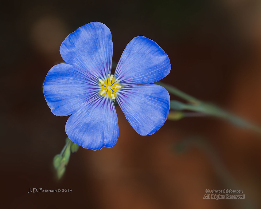 Prairie Flax (Linum lewisii), Yavapai County, Arizona