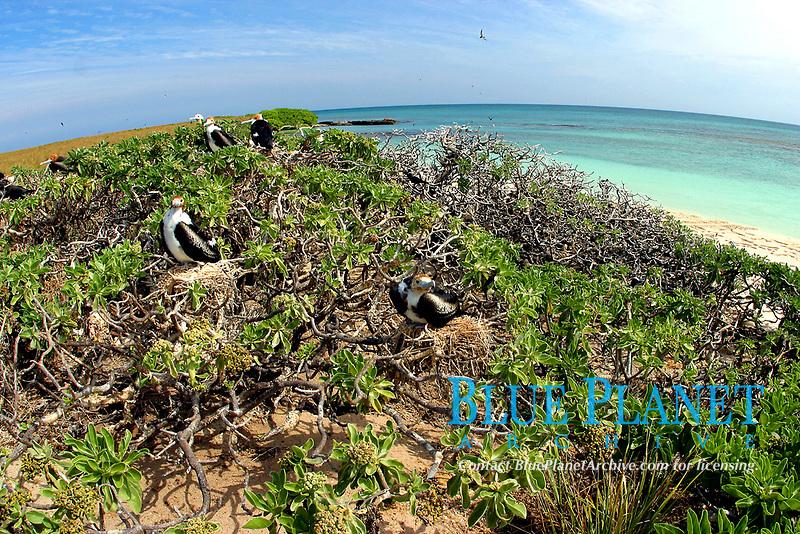 great frigatebird, Fregata minor, nesting colony, Lisianski, Papahanaumokuakea Marine National Monument, Northwestern Hawaiian Islands, Hawaii, USA, Pacific Ocean