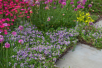 Flowering perennial groundcovers (Thyme, with Armeria and Dianthus) edging path in Barrington Hills, Illinois garden