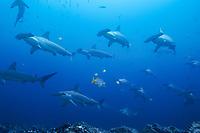 scalloped hammerhead shark, Sphyrna lewini, schooling, endangered species, Cocos Island, Costa Rica, Pacific Ocean