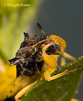 AM01-695z  Ambush Bug, male cleaning its face with its front legs, Phymata americana