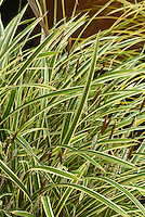 Ornamental Grass Carex morrowii 'Ice Dance' in bloom