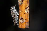 Arizona Woodpecker (Picoides arizonae arizonae), male on a feeder in Madera Canyon, Green Valley, Arizona.