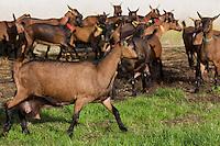 Europe/France/Centre/41/Loir-et-Cher/Sologne/Soings-en-Sologne: AOP Selles-sur-Cher - troupeau de chèvres chez Hervé Barbeillon, producteur // Europe/France/Centre/41/Loir-et-Cher/Sologne/Soings-en-Sologne: AOP Selles-sur-Cher  is a French goats'-milk cheese made in the Centre region of France - Hervé Barbeillon's farm - herd of goats