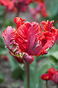 Tulip 'Rococo', late April. A late-flowering red and gren streaked parrot tulip, first introduced in 1942.