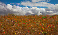 Poppies and Clouds, Lancaster