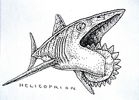 illustration, artist's rendition of Helicoprion, Paleozoic scissor tooth or buzzsaw shark known only from fossilized tooth whorls, prehistoric shark