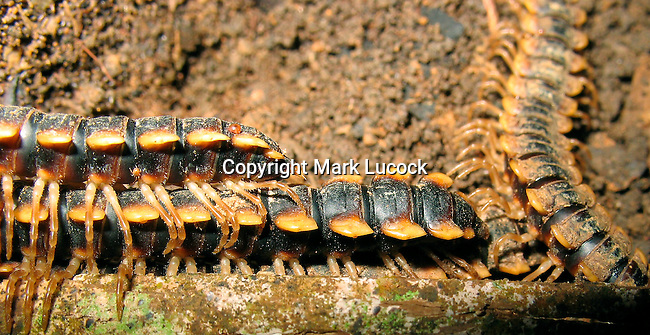 Rainforest Millipedes living in between buttress roots, Thailand