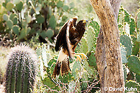 0405-1202  Harris's Hawk Taking Flight, Harris Hawk (Bay-winged Hawk or Dusky Hawk), Parabuteo unicinctus  © David Kuhn/Dwight Kuhn Photography