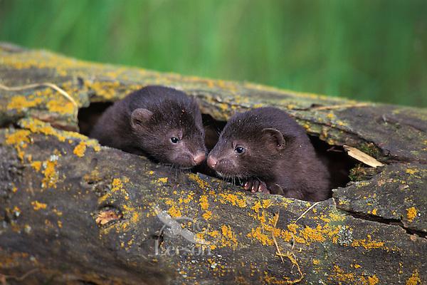 Mink (Mustela vison)--young kits in den log.  Western U.S., spring.