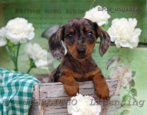Xavier, ANIMALS, dogs, photos, SPCHDOGS818,#A# Hunde, perros