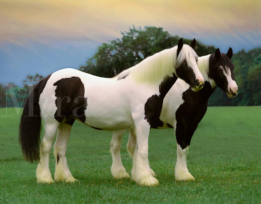 Gypsy Vanner Draft Horse mares.