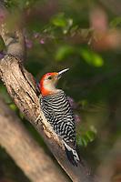 Red-bellied Woodpecker (Melanerpes carolinus).  Eastern U.S., Spring.