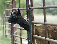 An alpaca on Ed and Barb Wille's farm Sunday, July 2, 2006, in Valley City, Ohio. The Wille's, who raises 23 alpacas on their farm, say they have earned $200,000 since starting up in 1994 by selling alpacas, winning stud fees and housing 12 of the furry creatures for $3 a day.<br />