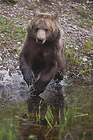 Grizzly Bear charging into some water - CA