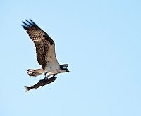 Osprey Bird Carrying a Fish Photograph captured over Okanagan Lake Penticton, British Columbia, Canada.