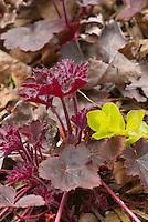 Heuchera Steel City purple red leafed foliage plant with Lysimachia nummularia Aurea creeping jenny amid leaf litter