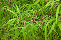 Japanese maple tree Acer palmatum 'Koto-no-ito' green