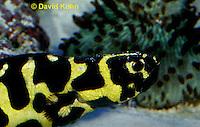 0120-08tt  Convict Blenny - Pholidichthys leucotaenia © David Kuhn/Dwight Kuhn Photography