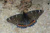Großer Eisvogel, Männchen, Limenitis populi, poplar admiral, male, Le Grand sylvain, Nymphale du peuplier, Edelfalter, Nymphalidae