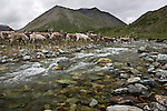 A herd of reindeer cross a mountain stream near the border of Mongolia and Siberia. While on a three-day visit to a Tsaatan village, I observed reindeer leaving the village each morning to graze the surrounding tundra. The herd always returned to the safety of the village at dusk. Packs of wolves commonly linger outside the village, waiting to prey on isolated reindeer.