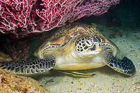green sea turtle, Chelonia mydas, endangered species, resting under a fan of gorgonian coral along with two remora, Philippines, Pacific Ocean