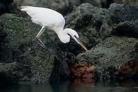 Great Blue Heron, Ardea herodias, adult white morph, Sanibel Island, Florida, USA, Dezember 1998