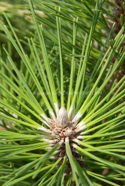 Healthy tip of Pinus thunbergii 'Thunderhead' Black Pine