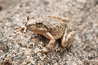 California Treefrog - Pseudacris cadaverina - Very well camouflaged little treefrogs that live in rock crevices along canyon streams here in Southern California..