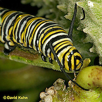 0109-07yy  Monarch Caterpillar - Danaus plexippus © David Kuhn/Dwight Kuhn Photography