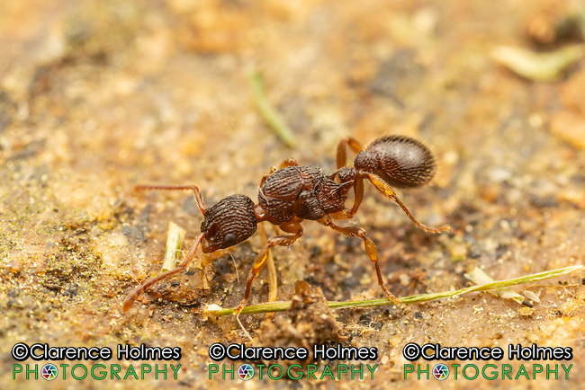 A Myrmicine Ant (Myrmica pinetorum) scavenges on the surface of a rock.