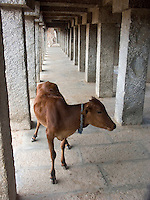 December , 2003 Cows wander the arched perimter of the Hindu religious temple at Hasan, India