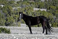 Wild Horse, Pryor Mountains, Wyoming