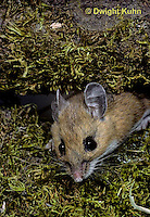 MU14-006a  Deer Mouse - Peromyscus maniculatus