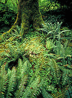 Verdant forest floor with moss and fern fronds in the rainforest at the foot of the Olympic Mountains of Washington state.