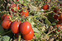 ITALY, Parma, Basilicanova, tomato contract farming for company Mutti s.p.a., plum tomatoes are used for canned tomato, pulpo, passata and tomato concentrate / ITALIEN, Tomaten Vertragsanbau fuer Firma Mutti spa, die geernteten Flaschentomaten werden anschliessend zu Dosentomaten, Passata und Tomatenmark verarbeitet und konserviert, alles 100 Prozent Italien