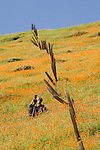 A photographer by a fence photographs the California poppies bloom on the hillside in late winter near the Mokelumne River in the Sierra Foothills as the bare oaks begin to bud.