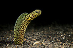 Lembeh Strait, Indonesia; a Taylor's Garden Eel emerges from its hole in the sand to feed on the passing nutrients in the current