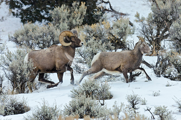Bighorn Sheep (Ovis canadensis) ram chasing ewe that he thinks is ready to mate (estrus).  U.S. Rocky Mountains, December.