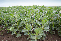 Spring beans in flower - May, South Lincolnshire