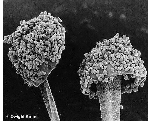 DC08-081z Mold stalks and spores - Rhizopus spp - electron microscope SEM 1440x [8x10].