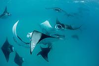 reef manta rays, Mobula alfredi, mass feeding on plankton, Hanifaru Bay, Baa Atoll, Maldives, Indian Ocean