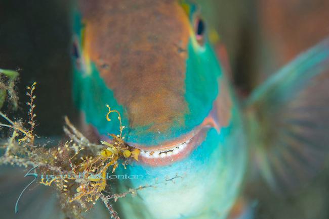 Blue Heron Bridge Macro, Stoplight parrotfish , terminal phase, Sparisoma viride eating sargassum weed
