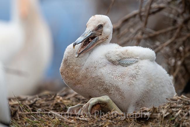 American White Pelican (Pelecanus erythrorhynchos) chick. Lake County, Oregon. April.