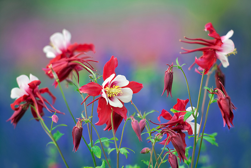 Close up of Swan Red and White Columbine. Oregon